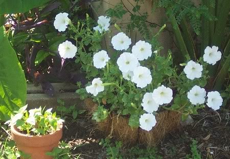white petunia, back from the dead
